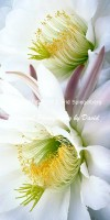 Echinopsis Cactus Blossoms