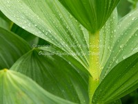 Raindrops on Corn Lily
