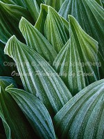 Frost on Corn Lily